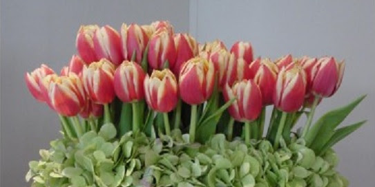 About Tulips Bloomnation Blog