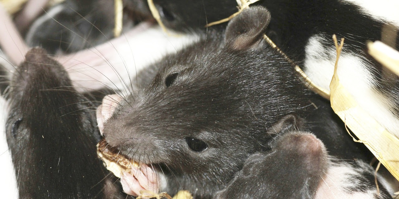 Image result for rats chewing