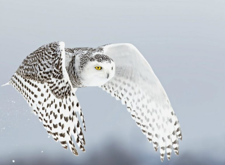16 Cool Facts About White Owls Aka The Snowy Owl