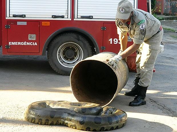 cobra de 6 metros em MT (Foto: Tita Mara Teixeira/G1)