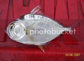 gambar ikan kekek mentah