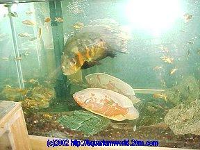 Fish Fleas