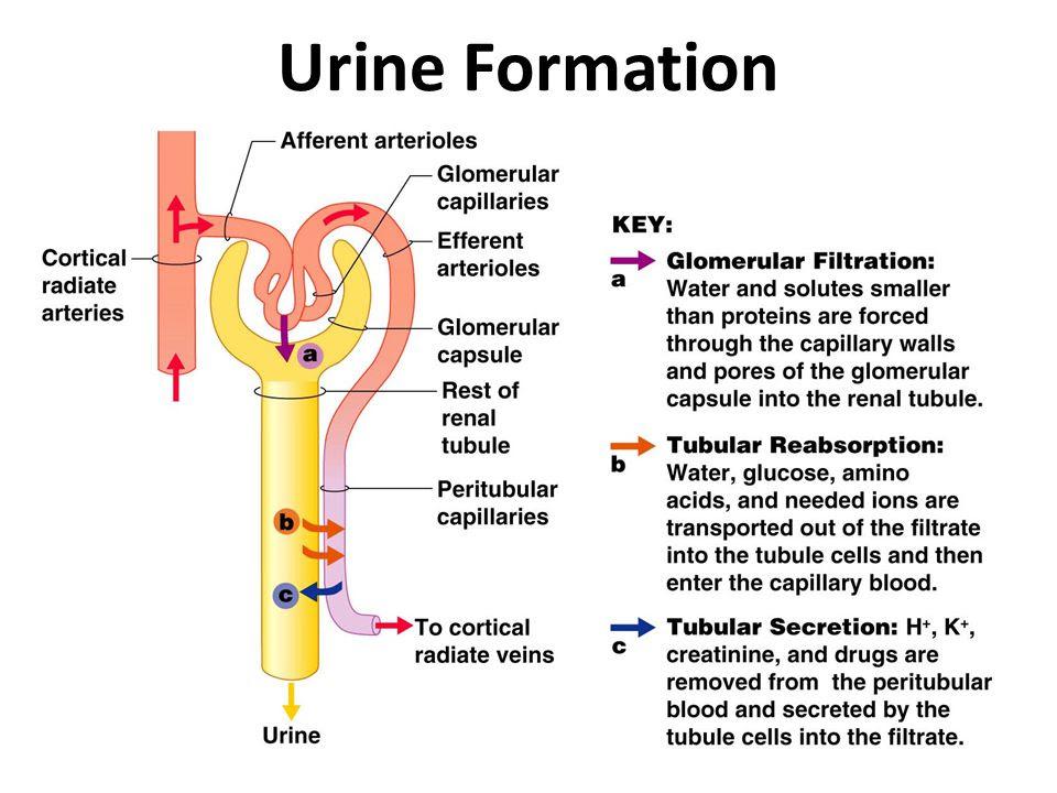 Urine+Formation