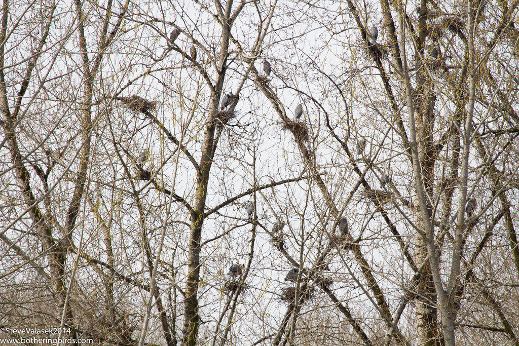 Great-Blue Heron Rookery
