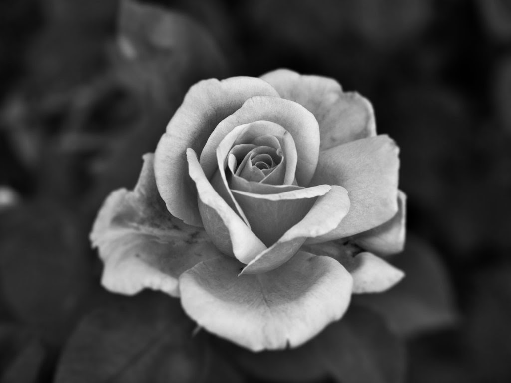 Black And White Rose Photography Wallpapers Gallery