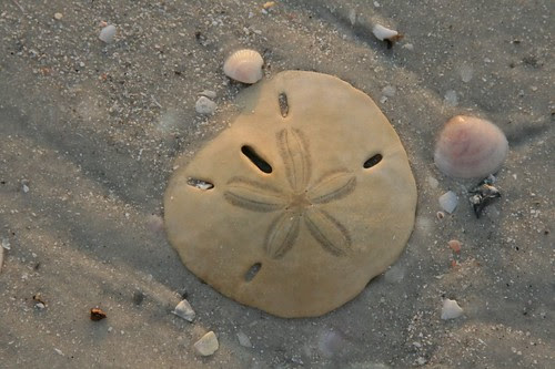 Sand dollar at Lover's Key State Park