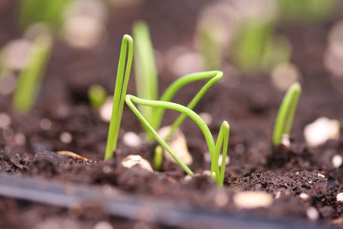 onion sprouts 5