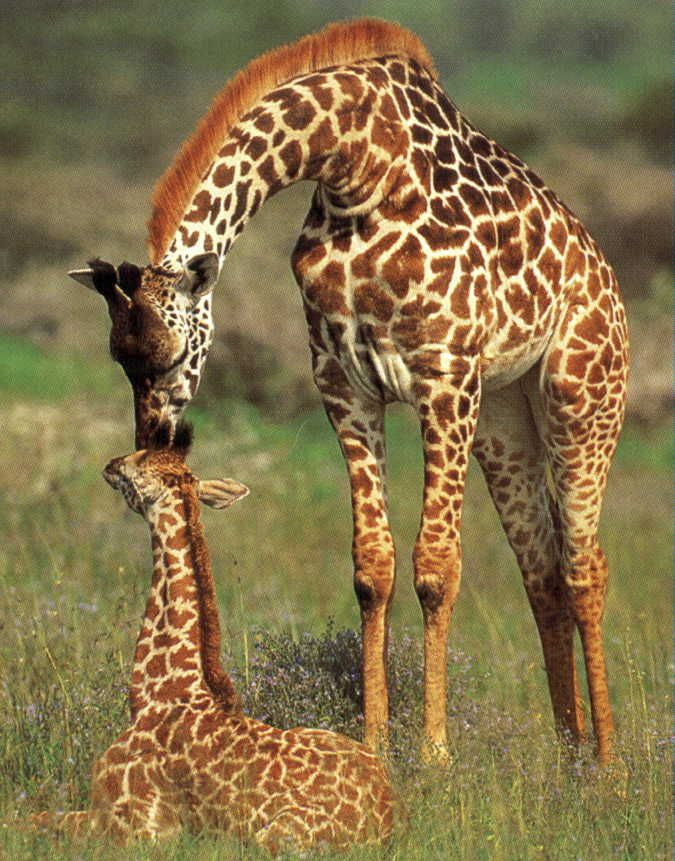 photo giraffe-1d0b127_zps396c54ab.jpg