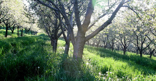 Cherry orchards in MI