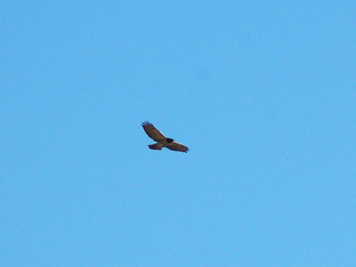 Red-Tailed Hawk Soaring near Cardinal Cooke Health Center