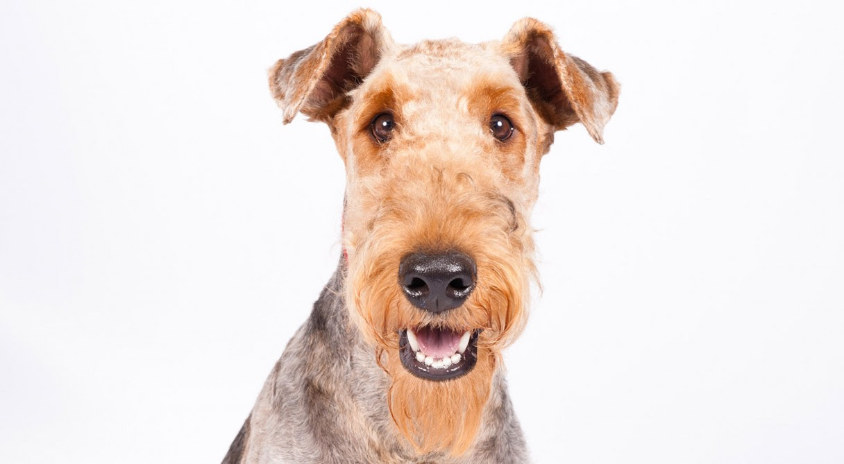 Airedale Terrier History  Training\/Temperament  American Kennel Club