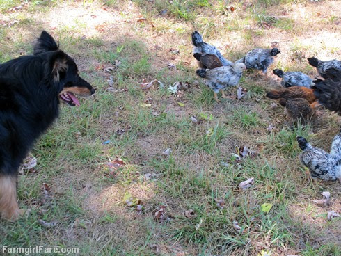 (9) Stock dog on chick watch - Bear LOVES babies - FarmgirlFare.com