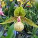 orchidsPhrag. Noirmont_026