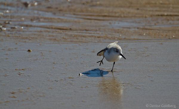 a sanderling balancing act