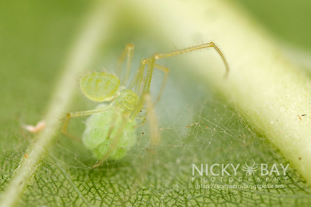Comb-Footed Spider (Theridiidae) - DSC_6372