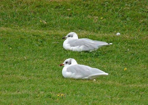 11421 - Mediterranean Gulls at Bracelet Bay, Mumbles