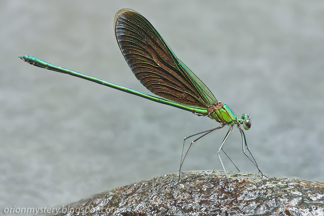 Green metalwing damselfly (Neurobasis chinensis ) IMG_5227 stk copy