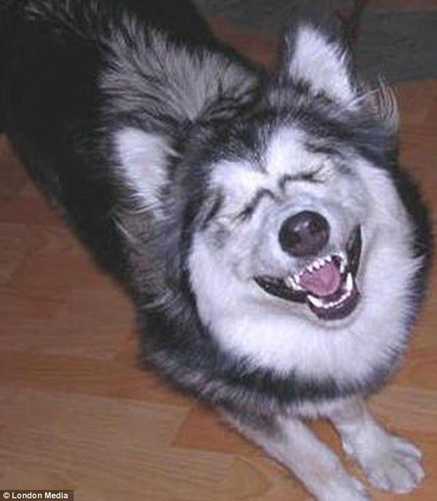 Cackling canine: Someone must have told this whooping wolf a shaggy-dog story
