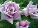 ※※※  【バラ苗】 つるマダムヴィオレ (Cl紫) 国産苗 大苗 6号鉢植え品 ☆ 1月末ま...