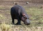 Як бегемот порятунок антилопи пастка крокодил