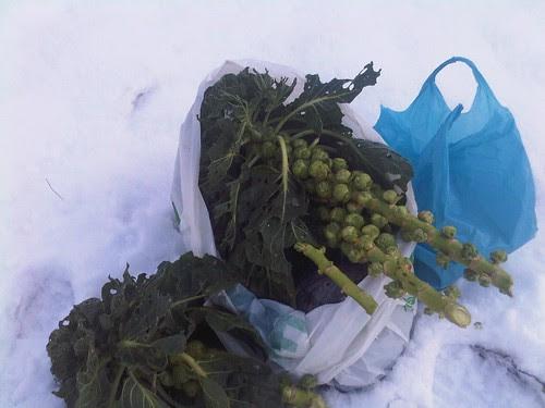 sprouts in snow Dec 09