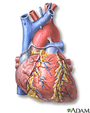 Illustration of the heart, front view