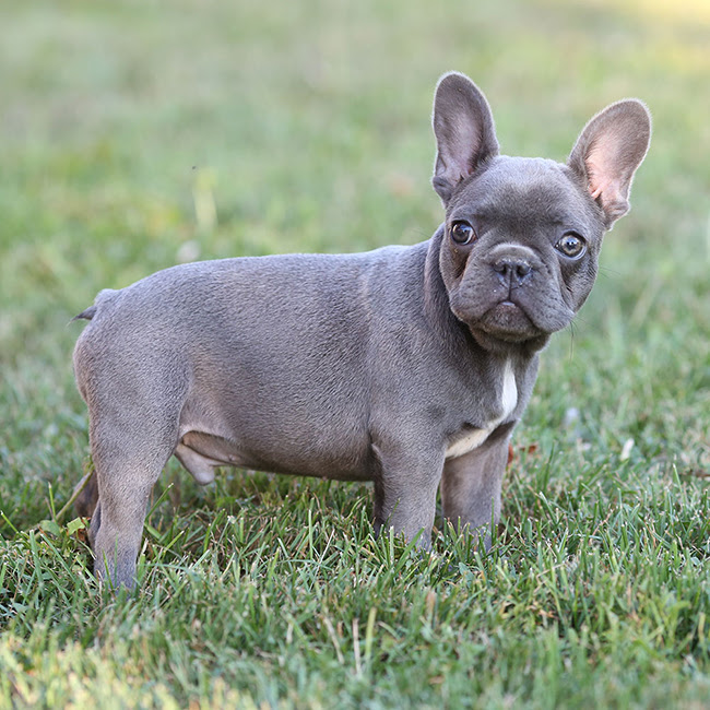Beautiful French Bulldog Babies The Jefferson County Post
