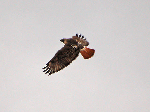 Red-Tailed Hawk over Morningside Park