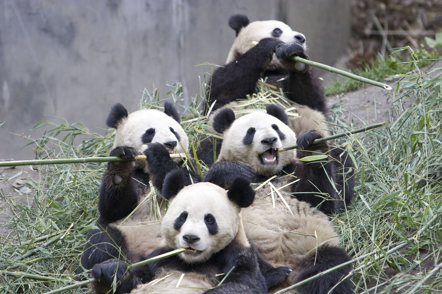 Giant Panda And Bamboo More Than A Meal To The Endangered Bear