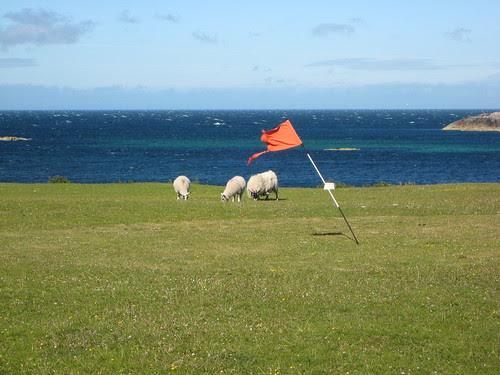 Just putt around the sheep...