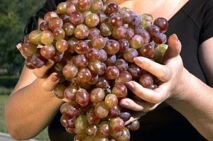 огромные гроздья винограда фото
