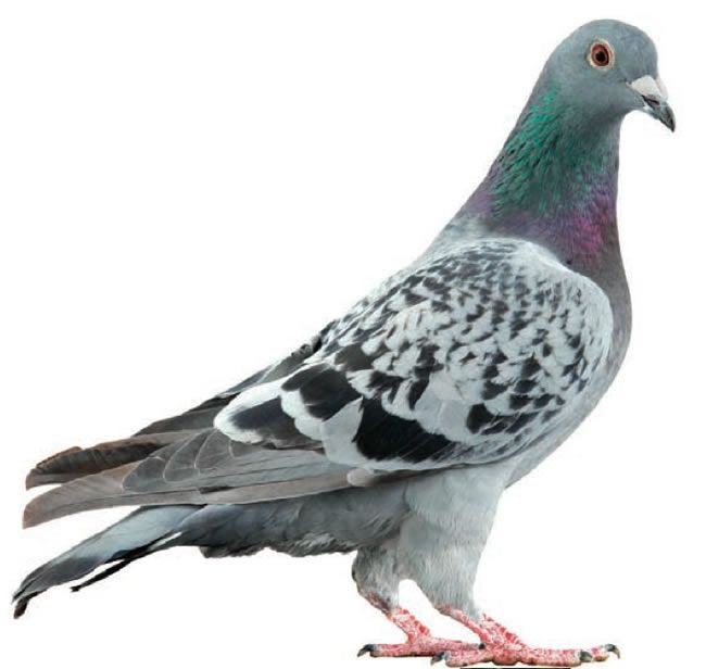 What Does A Pigeon Symbolize In The Bible