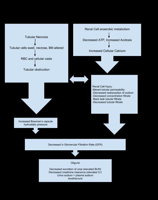 patho of acute renal failure