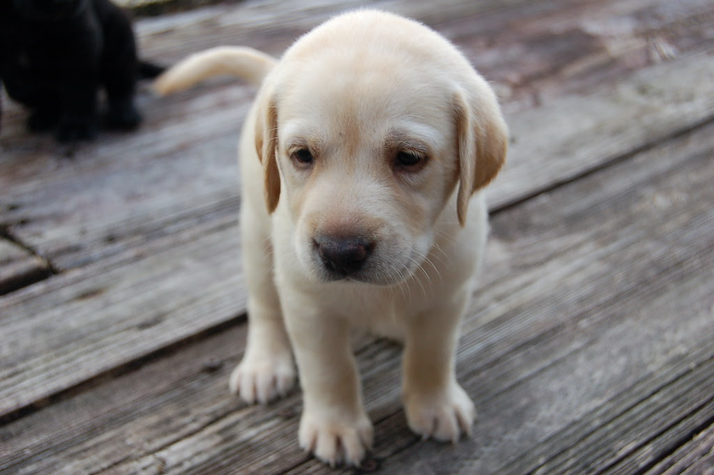 Buy Yellow Lab Puppies For Sale In Arizona USA