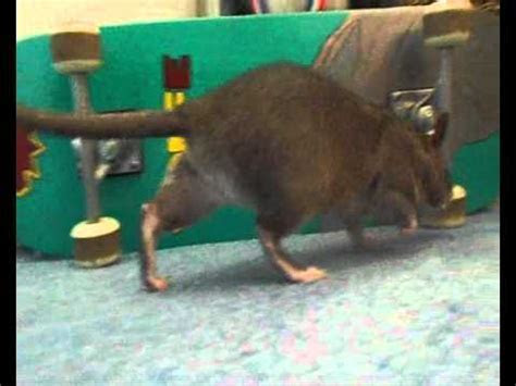 Thistle   The Gambian Pouched Rat   YouTube