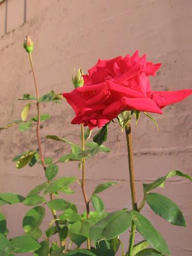 frat_rose