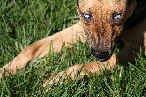 Celeste eats grass