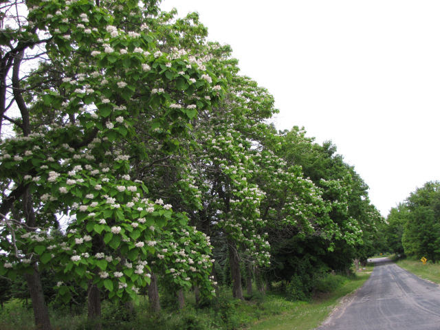 row of blooming catalpa trees