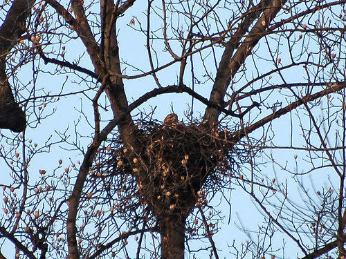 Inwood Red-Tail Nest