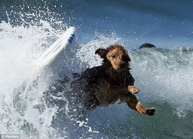 Wipe out! This little pup tumbles off his board during the competition at Huntington Beach, California
