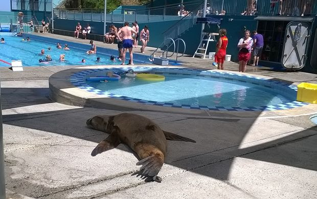 Visit of a New Zealand sea lion to Dunedin's St Clair Hot Salt Water Pool in mid-January 2015. The pool had to be evacuated when the sea lion got in!