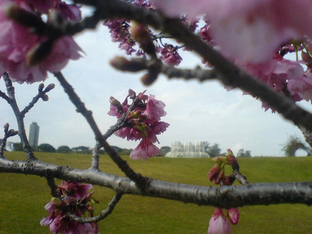 As floradas de cerejeiras mais bonitas em todo o mundo 17