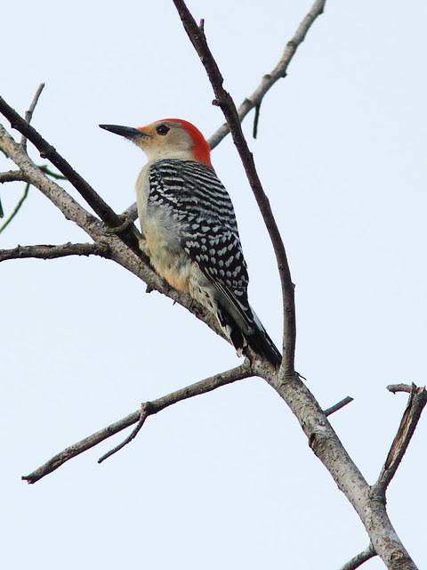 Red-bellied Woodpecker 20131228
