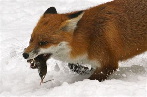Christmas RATions for a Frolicking Fox   Communicate Science