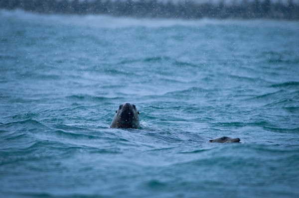 20130119-DSC_0288NorthernSeaLion