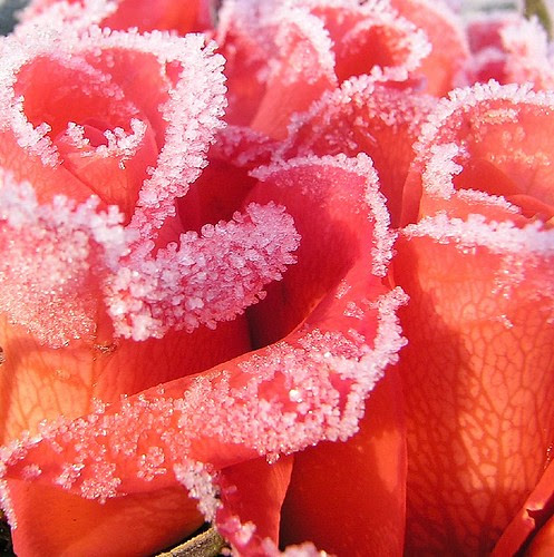 Eisrose 2 by multiflora