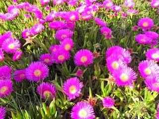Flores de verano - Uña de gato