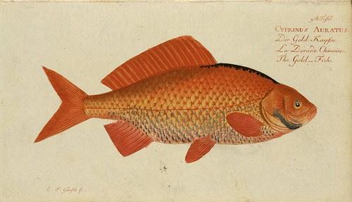 Cyprinus auratus