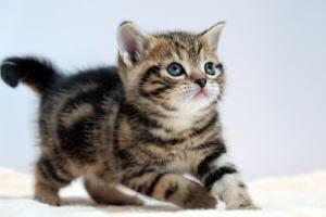 猫の違い特集~サバトラ・キジトラとアメショは瓜二つ