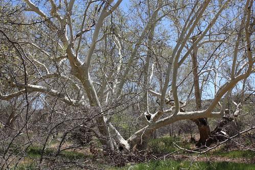 White Arizona Sycamore